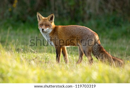 Red Fox standing in the dunes