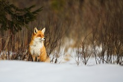 red fox, vulpes , sitting on snowy meadow in wintertime nature. Wild mammal looking on white field in winter with copy space. Orange animal observing on snow in white environment.