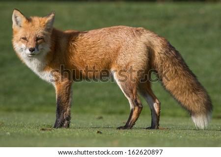 Red Fox (Vulpes vulpes) ストックフォト ©