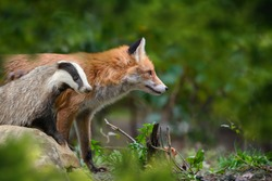 Red Fox, Vulpes vulpes and badger, beautiful animal on green vegetation in the forest, in the nature habitat. Wildlife nature, Europe