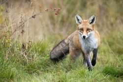 Red fox, vulpes vulpes, approaching on meadow in autumn nature. Wild beast going forward on green field in fall. Front view of predator with orange fur walking closer on grassland.