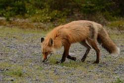 Red Fox. Vulpes vulpes. Avalon Penisula, Newfoundland, Canada. 22 June 2015