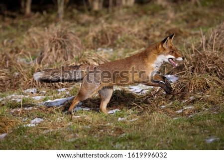 Red Fox, vulpes vulpes, Female Running, Normandy  ストックフォト ©
