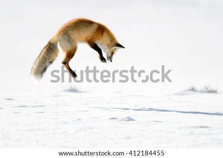 Red Fox (Vulpes vulpes) - Hunting I #412184455