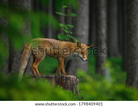 Red fox, Vulpes vulpes, in dark green forest. Fox stands on stump and sniffs about prey in green blueberry. Wildlife scene from summer nature. Orange fur coat animal in habitat. Fox is clever beast.