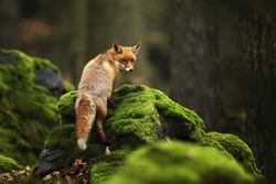 Red Fox, Vulpes vulpes in spring forest. Beautiful animal in the nature habitat. Wildlife scene from the wild nature.
