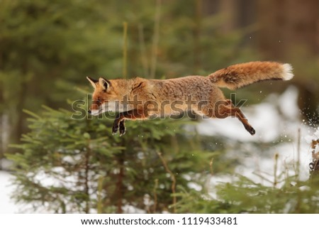 red fox, Vulpes vulpes, is jumping over small tree
