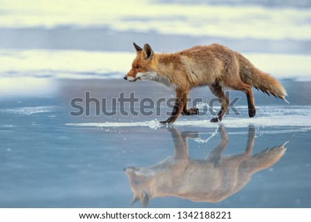 Red fox (Vulpes vulpes) is the largest of the true foxes and one of the most widely distributed members of the order Carnivora, being present across the entire Northern Hemisphere  #1342188221