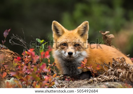 Red Fox - Vulpes vulpes. Laying down in the colorful fall vegetation. Making eye contact.