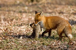 RED FOX vulpes vulpes, MALE WITH A RABBIT KILL, NORMANDY IN FRANCE