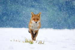 Red fox (Vulpes vulpes) on winter forest meadow in snowfall. Orange fur coat animal hunting in snow. Fox in winter nature. Wildlife scene from Europe. Habitat Europe, Asia, North America.
