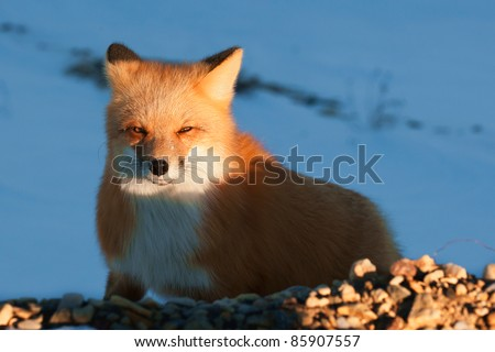 Red Fox. Vulpes vulpes. Portrait of the Red fox in beams of the sun