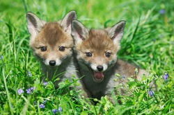 Red Fox, vulpes vulpes, Pup sitting in Flowers, Normandy