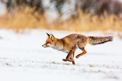 red fox (Vulpes vulpes) quickly running away through the snowy landscape