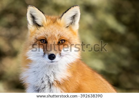 Red Fox - Vulpes vulpes, sitting up at attention, direct eye contact, a little snow in its face, tree bokeh in background #392638390