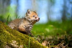 Red fox, vulpes vulpes, small young cub in forest. Cute little wild predators in natural environment. Wildlife scene from nature