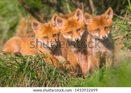 Red fox, vulpes vulpes, small young cubs near den curiously weatching around. Cute little wild predators in natural environment. #1410932699