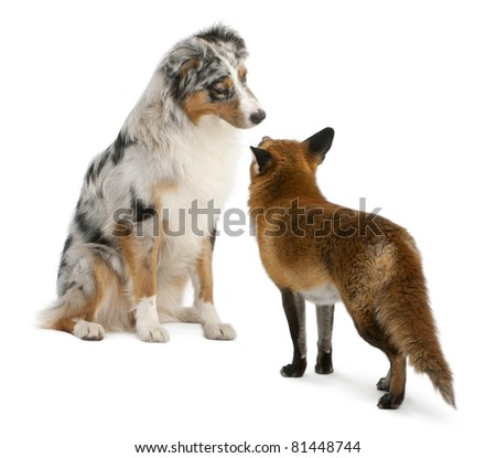 Red Fox, Vulpes vulpes, 4 years old, playing with Australian Shepherd dog in front of white background - stock photo