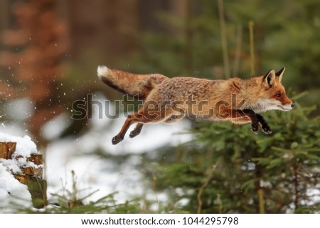red fox with high jump above snowy small trees