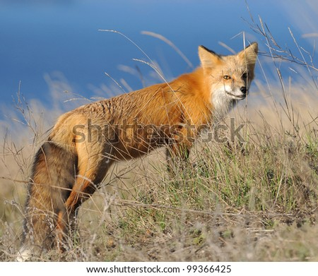 Red Fox with ocean in background