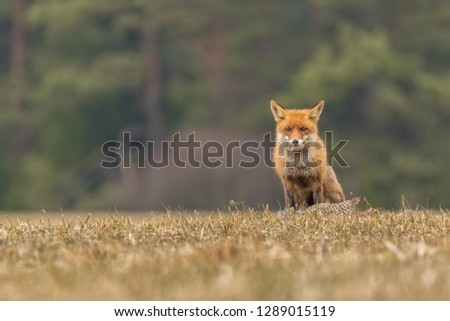 red fox with prey, attractive photo of red fox with prey