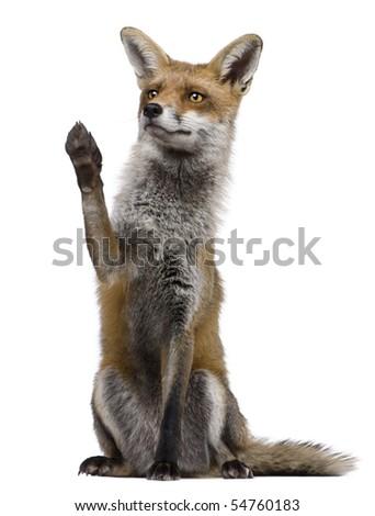 red fox sitting. stock photo : Red Fox,