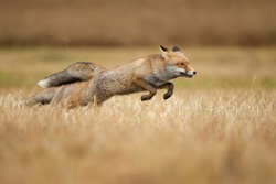 Red foxes leaping over grass. Vulpes vulpes. Hunt and speed. Jumping animal.