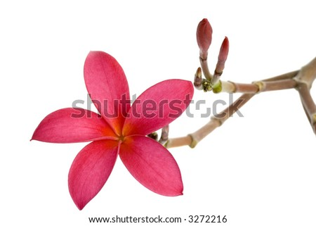 Red Frangipani flower isolated on white background