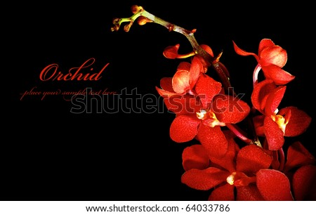 Red fresh orchid flower isolated on black background