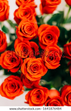 Red Fresh Roses on the white background , selective focus, great distance of  focusing