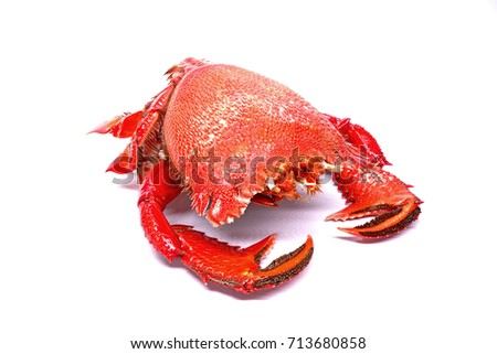 Red frog crab or Spanner crab(Ranina ranina) is a species of edible crab found throughout tropical and subtropical habitats.It's only extant species in its genus.Specimen isolate on white background