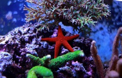 Red fromia elegance starfish