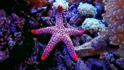 Red Fromia Starfish