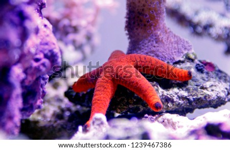 Red Fromia Starfish - Fromia milleporella   #1239467386