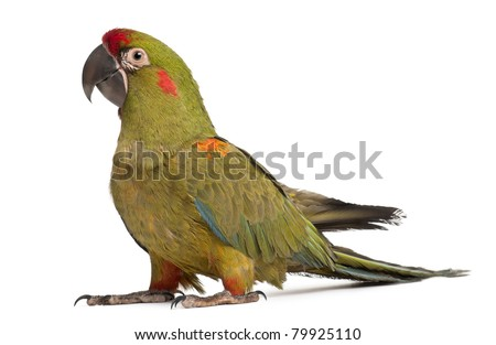 Red-fronted Macaw, Ara rubrogenys, 6 months old, in front of white background