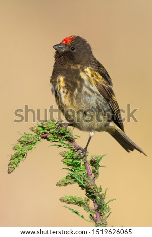 red fronted serin perched on a green  branch