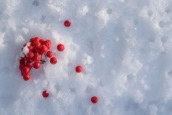 Red frozen rowan berries on white snow, beautiful natural and christmas background, copy space