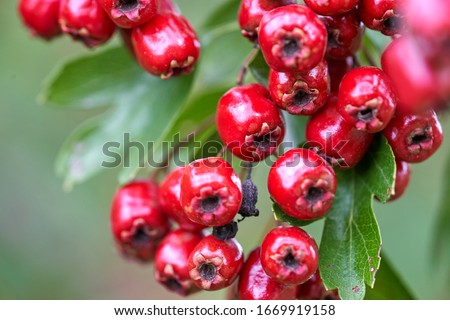 Red fruit of the hawthorn (Crataegus), close-up. Crataegus, commonly called hawthorn, quickthorn, thornapple, May-tree, whitethorn, hawberry. Foto stock ©