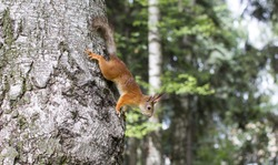 Red furry wild squirrel in the forest. Forest furry rodent.
