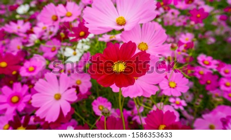 Red garden cosmos flowers in the garden.Garden Cosmos.Garden cosmos flowers.
