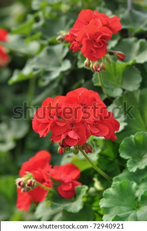 Red garden geranium flowers , close up shot