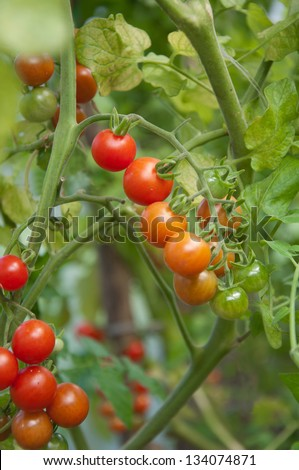 red garden tomatoes