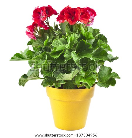 Red geranium flower in a yellow plastic pot isolated on white background