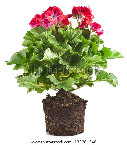 Red geranium flower in soil pot isolated on white background