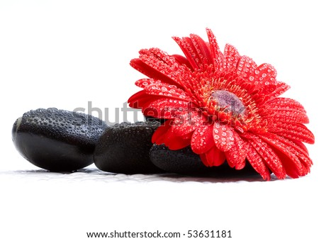 red gerber daisy and pebbles isolated on white - spa concept
