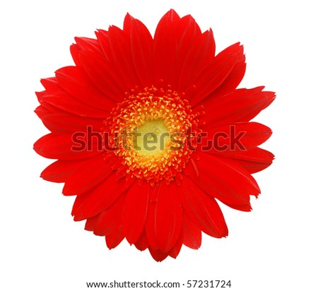 Red gerber daisy isolated