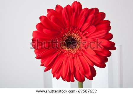 Red gerber flower in glassy vase