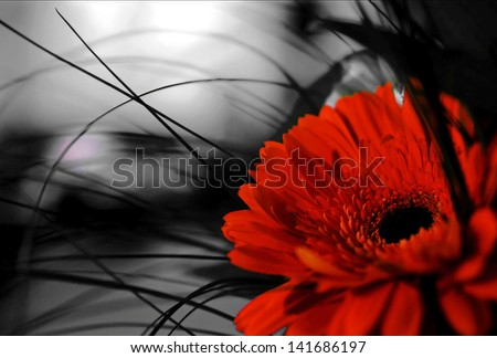 Red gerber flower on black and white background