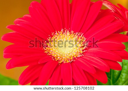 Red gerbera daisey flower close up. selective focus