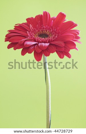 Red gerbera daisy in green background. Great colors